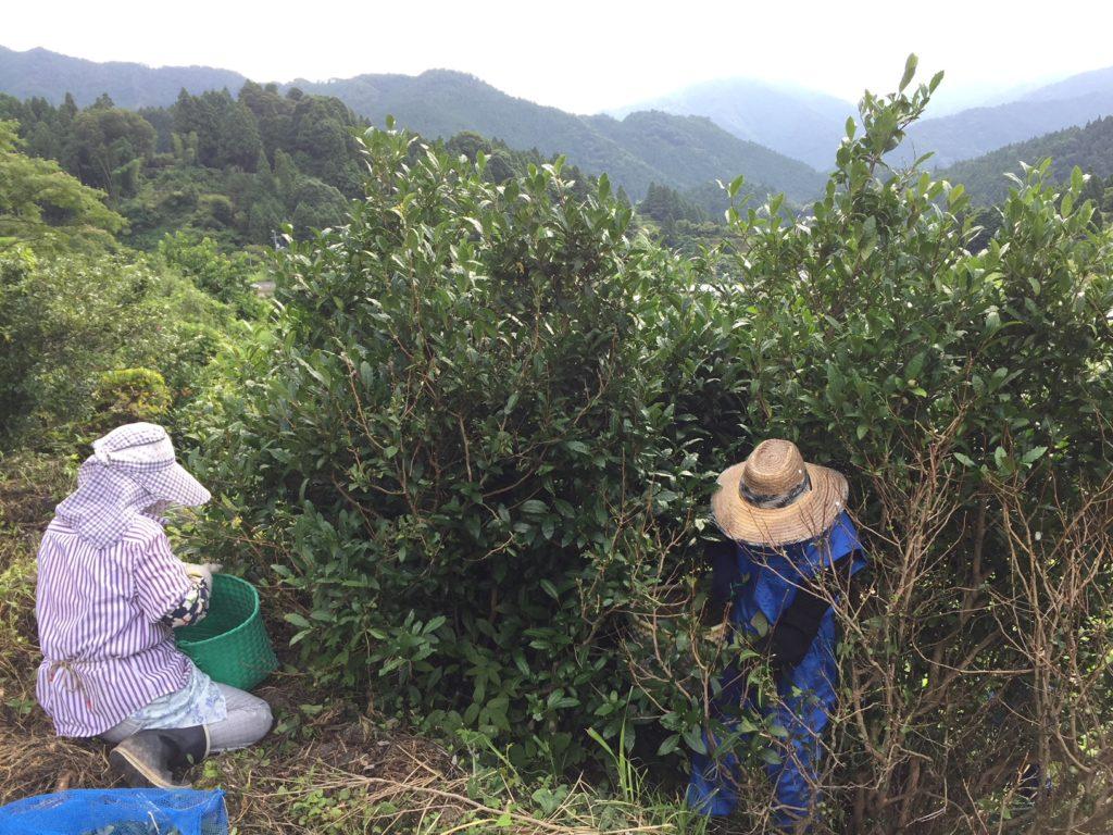 ◆◇◆上勝阿波晩茶に携わる地域おこし協力隊員を継続募集!!◆◇◆