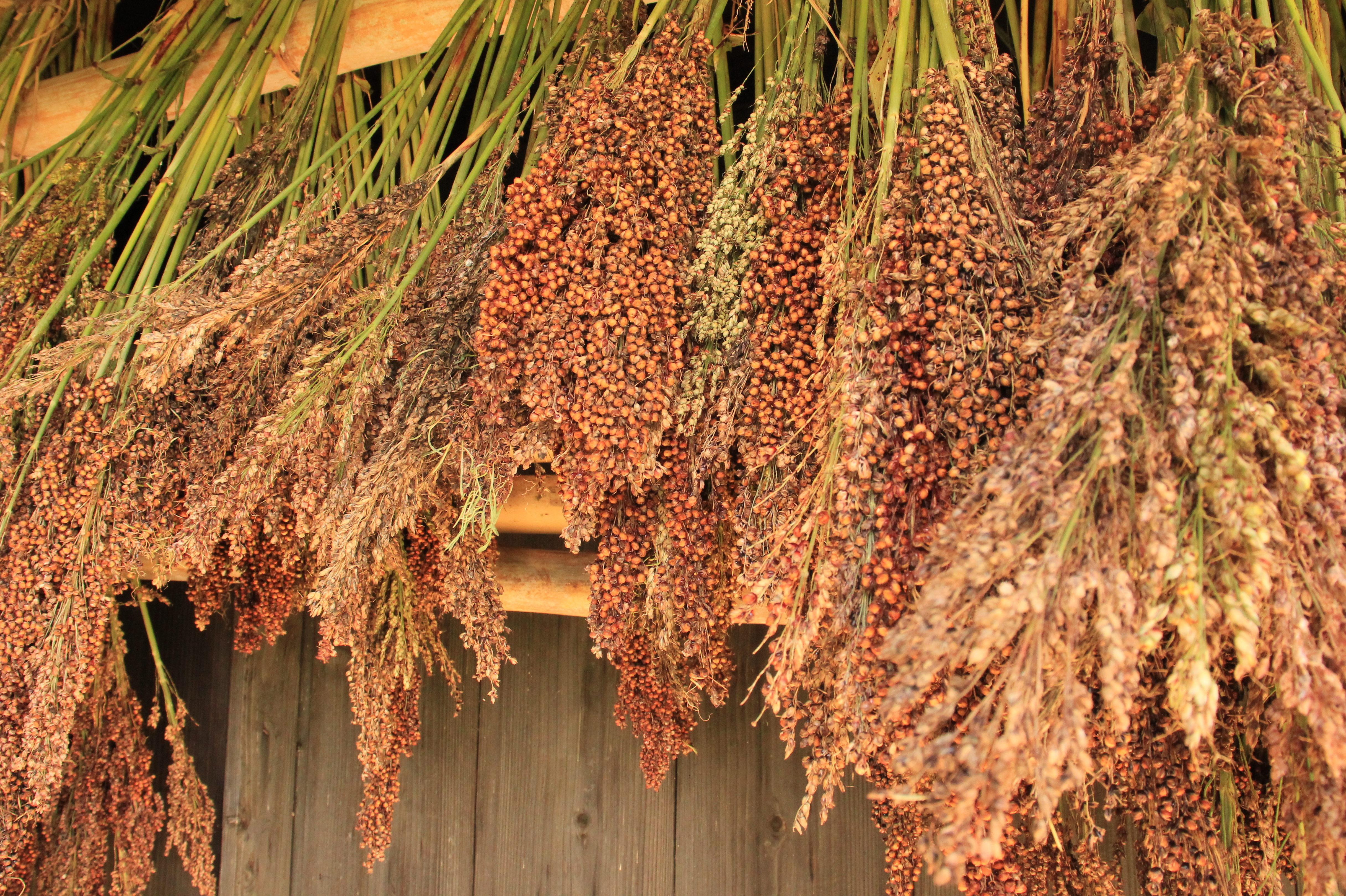 タカキビ収穫🌾